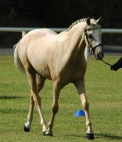 Palomino-riding-pony-37 by tbg-stock-images