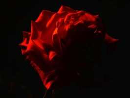 Rose by Night by Dustinpg