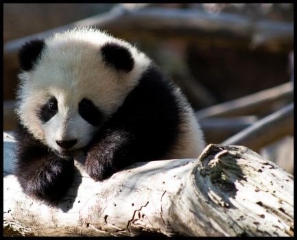 Teething baby panda by Roland3791