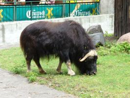 Muskox, Moscow Zoo by Garr1971
