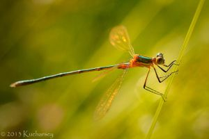 Lestes sp. by Dark-Raptor