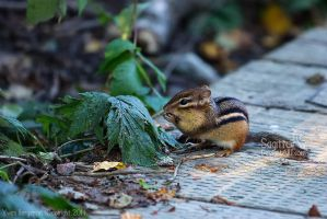 Chipmunk by Sagittor
