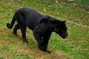 black jaguar13 by redbeard31