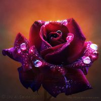 Celestial Rose by Lilyas