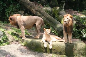 The Lions of Singapore Zoo by tidalwavedave74