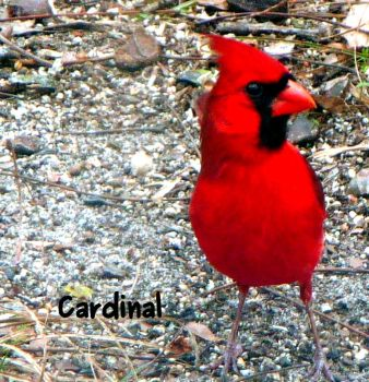 Bright Red Bird by dgpc4ever