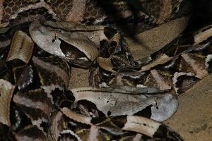 Gaboon Viper 2 by S-H-Photography
