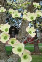 Beatle on a dogwood flower by justamom