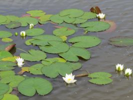 Water lilies 4 by Temansha