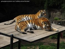 Two Tigers by GuineaPigDan