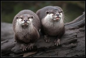 Asian Otters 33-019 by lomoboy
