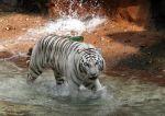 Tiger Stock 4 by GloomWriter