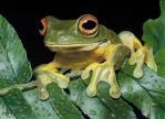 Red-Eyed Tree-Frog by Arrowfire