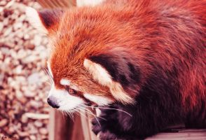 Red Panda 2 by EveVictus