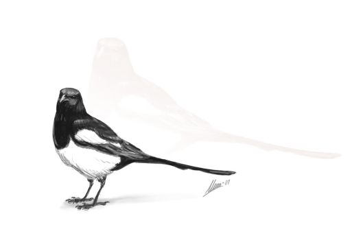 Magpie by TopGon
