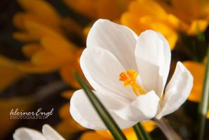 white crocus by kleinerEngl