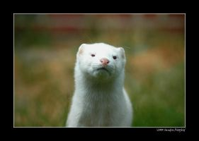 White American Mink by grugster