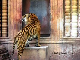 Tiger Exiting by carolgregoire