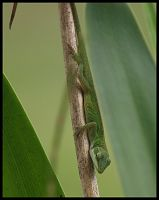 Immature Anole by texasghost