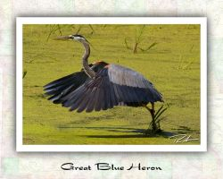Great Blue Heron Take Off by Merlinstouch