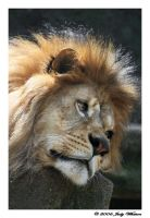 African Lion 4 by Tazzy-