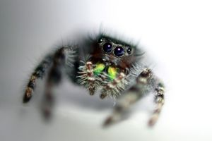 Jumping Spider by xLindarielx
