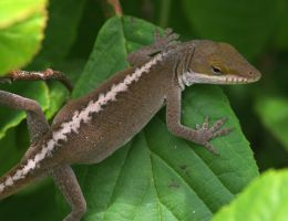 Green Anole 20D0027418 by Cristian-M
