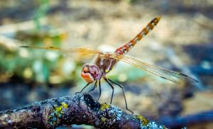 Dragonfly by DuffyGraham