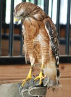 Buteo lineatus- Red shouldered hawk 6 by lumibear