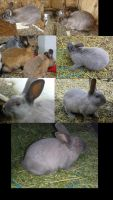 Rabbit colors by Tricksters-Taxidermy