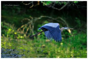 great blue by photom17