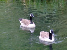 Swimming together by WendyW