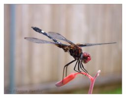 Photo - Dragonfly 01 by phantompanther