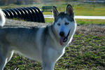 Siberian Husky 1 by sugarpoultry