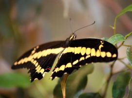 tropical butterfly p.4 by looziker