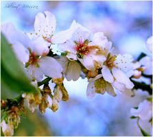 Almond  branch 6 by ShlomitMessica