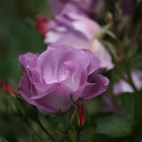 roses at rose farm 12 by ingeline-art