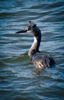 Great Crested Grebe by RLPhotographs