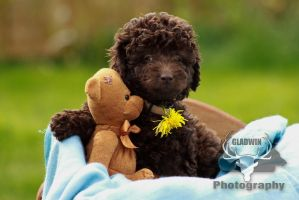 Labradoodle Pup by Gaia-Illustrations