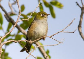 Silvereye by ARC-Photographic