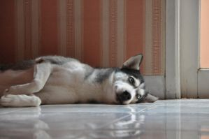 Husky Napping by randophera