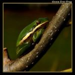 Green Tree Frog 06 by boron