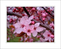 Cherry Blossom by miraska
