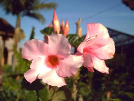 Double Pink Flower 001 by vukery