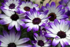Purple and White by AngelsOdyssey