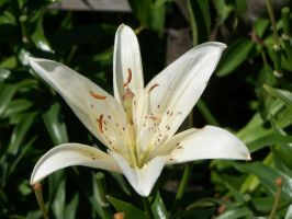 White Asiatic Lily 4 by racheltorres921
