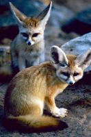 Fennec Fox 3 by Art-Photo