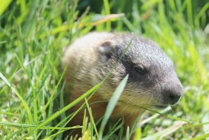 Baby Groundhog 3 by Accyber