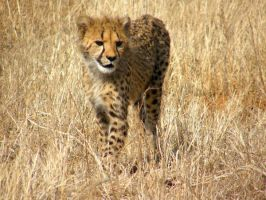 Cheetah III by Jenvanw