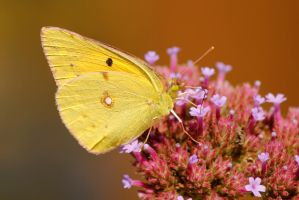 Clouded white butterfly by karliosi